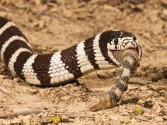Kingsnake eating a rattlesnake!*