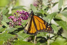 https://flic.kr/p/NLYRp8 | Monarch Butterfly