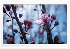 Blossom Flowers HD Wide Wallpaper for Widescreen