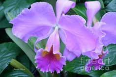 Double Purple Orchid by Jeannie Rhode