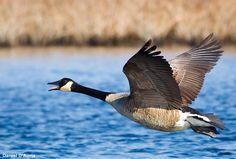 Photographie de Daniel d'Aura (Wikimedia Commons) : Bernache du canada (Branta canadensis) #ornithologie   #oiseaux   #nature
