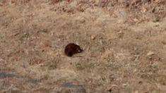Muskrat in my yard