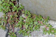 Если вы увидите это растение в вашем дворе, ни в коем случае не уничтожайте его! Вот почему! – БУДЬ В ТЕМЕ