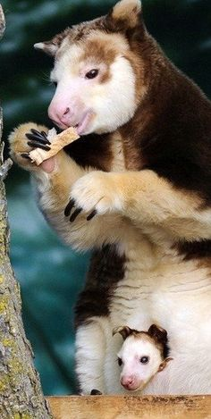 Tree kangaroo and joey