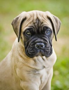 Bullmastiff is a large sized dog breed originated in England.Bullmastiffs were originated in 19th century since then they have been used as guard dogs. They are also affectionate dogs and make excellent family pets. Bullmastiffs is ranked as the most protective among all dog breeds.