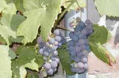 September maand van de druivenoogst