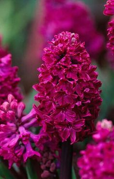 Purple Nature Hyancith