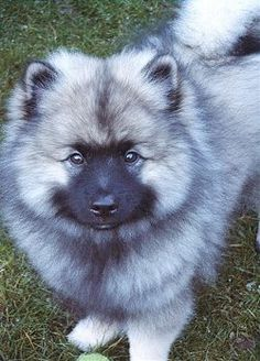 This is not one of ours, but a good representation of what the Keeshond puppies look like. How could we have possibly resisted?