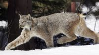 Canada lynx may be on rise in northeast Vermont