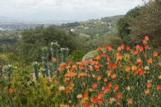 Kapstadens vattenbrist åtgärdad med borttag av vattentörstande växter! World Heritage Sites, South Africa, Floral, Cape, Vineyard, Plants, Outdoor, Nature, Outdoors