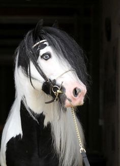 Saraid Tonka Tot, a 2009 14.3hh Black Tobiano Gypsy Cob Filly Driven Dressage, Obstacle Driving Prospect, look at those eyes, beautiful.