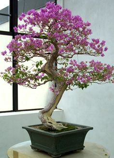 Bougainvillea (CR@ Randy Cyr). Photo:  This Photo was uploaded by greentreedoctor. Find other Bougainvillea (CR@ Randy Cyr). pictures and photos or uploa...