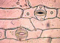 Beyond the Human Eye: stomata (and accompanying explanation) High School Science, Teaching Science, Life Science, Plant Science, Science Nature, Photosynthesis And Cellular Respiration, Seed Dispersal, General Biology, Orchid Roots