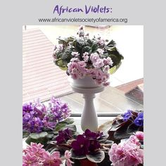 Look at this cheery collection! ❤🌸 So many varieties! This is the collection of @fialki_26   #AVSA #AfricanViolet #IndoorPlant #Houseplant #saintpaulia #senpolia #AfricanVioletLovers #fialka #AfricanVioletSocietyOfAmerica #AfricanVioletBlooming #AfricanVioletMania #flowers #bloom #fialki #flowerstagram #FlowersOfInstagram #AfricanVioletsOfInstagram