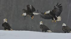 Maverick , Goose and the Bystanders by Jose Albero on Bald Eagles, Bird Feathers, Birds, Animals, Animaux, Bird, Animal, Animales, Animais