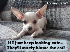 If you need a reason to smile today, check out these funny chihuahua memes! Chihuahua Quotes, Chihuahua Names, White Chihuahua, Chihuahua Puppies, Chihuahuas, Funny Chihuahua, I Love Dogs, Cute Dogs, Scary Dogs