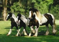 gypsy vanner mare and twin foals   horses   Pinterest
