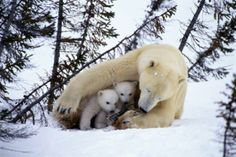 Adorable intimate moments between mother polar bear and her cub caught on photo. Adorable intimate moments between mother polar bear and her cub caught on photo. Nature Animals, Animals And Pets, Wild Animals, Beautiful Creatures, Animals Beautiful, Cute Baby Animals, Funny Animals, Love Bear, Tier Fotos