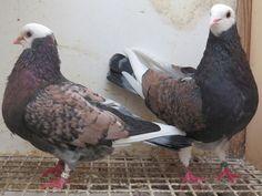 Catalonian Tumbler Pigeons