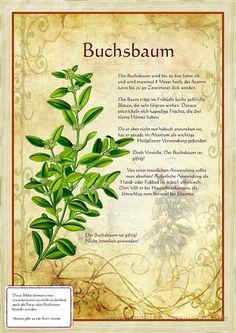 Bilder aus dem Buch Alte Heilkräuter-Zeichnungen >  Buxus sempervirens-Isopuksipuu