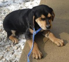 Bluetick Coonhound mix M 3 months named Sly in Louisa, KY @ Lawrence County Humane Society 606-638-0512/606-483-2959 potterperry41230@yahoo.com