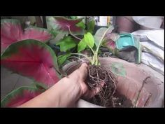 Caladium - How to Propagate - YouTube Propagation, Gardening Tips, Bulb, Tutorials, Youtube, Plants, How To Make, Onions, Plant