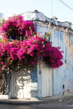 Beautiful pink flowers envelope the corner of an old house in Tuscany