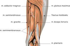 muscles back of thigh in Muscles