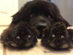 Image result for newfoundland puppies                                                                                                                                                                                 More