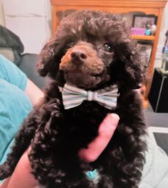 Teddy The Toy Poodle