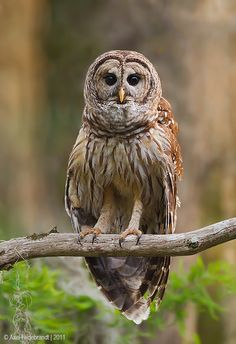 Barred Owl by Axel Hildebrandt on 500px
