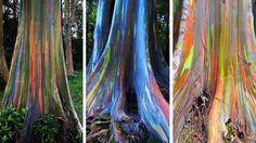 Non, les arbres que vous allez voirne sont pas le fruit de manipulations génétiques douteuses (pas plus qu'ils n'ont été photoshopés) !Ils appartiennent juste à une espèce aux couleurs naturellement incroyables et au nom parfaitement