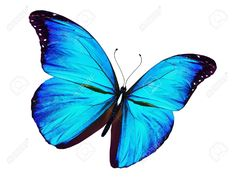 Farfalla Blu Che Vola, Isolato Su Sfondo Bianco Foto Royalty Free, Immagini, Immagini E Archivi Fotografici. Image 14424156.