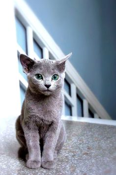 Russian Blue Cat - smart, quiet and stately. green eyes. healthy breed.  doesn't like change. light grooming 2 x week