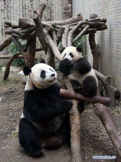 Giant panda cub Yuan Zai plays with its mother Yuan Yuan at the Taipei Zoo in Taipei, southeast China's Taiwan, Jan. 31, 2014.