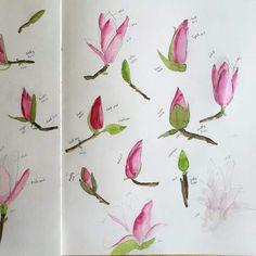 flowers  Pinterest  Magnolias Magnolia Flower and Tree Drawings