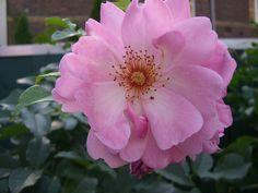 Im Sommer blühen meine Rosen im Garten. Dort genieße ich abends  gerne ein Glas Rosé.