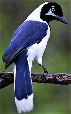 White Tailed Jay
