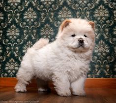 Chow chow puppy. I just want to snuggle him...