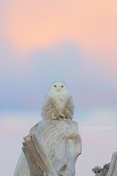 snowy owl by I Phelps, They have been seen off NC's coast this winter- very unusual.