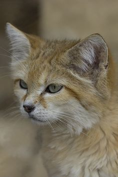 The sand cat, also known as the sand dune cat, is the only felid found primarily in true desert and has a wide but apparently disjunct distribution through the deserts of northern Africa and southwest and central Asia. Pretty Cats, Beautiful Cats, Animals Beautiful, Cute Animals, Small Wild Cats, Big Cats, Crazy Cats, Kittens Cutest, Cats And Kittens