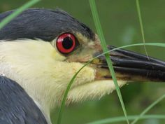 Black Crowned Night Heron by Michael Kaynard of Kaynard Photography published in Charleston Currents -- keeping ahead of what's happening