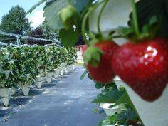 Strawberry Fields Hydroponic Farm in Skaneateles, NY has U Pick from June through October every year. Every strawberry is perfect! Skaneateles Ny, Artisan Cheese, Finger Lakes, Farm Stand, Strawberry Fields, Hydroponics, The Fresh, Farmers Market, Agriculture