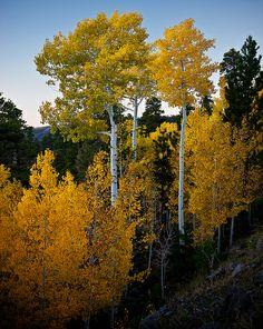aspens, Boulder Mountain, CO | Tucapel on Flickr