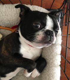 Thinking about a nap  #carlthefriend #puppy #puppiesofinstagram #puppylife #dog #dogs #dogsofinstagram #dogstagram #boston #bostonterrier #bostonterriers #bostonterriersofinstagram #cute #cutest #cutestpuppy #cutestpuppyever #senpai #instalike #instadaily #instagram #instadog #instapet by carlthefriend