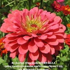 Benary's Giant Zinnia. Huge, vibrantly colored flower. Annual, summer must have grown from seed.  Seed every 2 weeks for blooms and cut flowers all summer.
