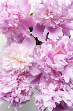 Fluffy Flowers. Bridezilla, Rose, Plants, Flowers, Roses, Plant, Planting, Planets