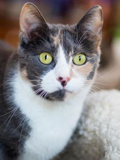 Meet Faith, an adoptable Domestic Short Hair looking for a forever home near Chicago, IL. If you're looking for a new pet to adopt or want information on how to get involved with adoptable pets, Petfinder.com is a great resource.