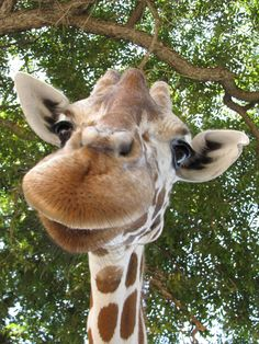 Happy giraffe...watch out, I think he is going to lay a kiss on you.