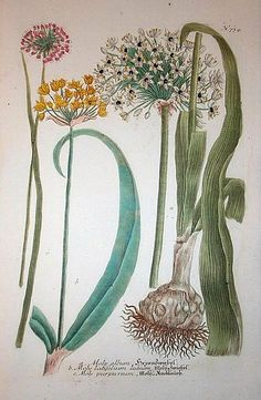 William Curtis (1746 – 1799) His series of wild flowers would be charming framed and hung as wall art.